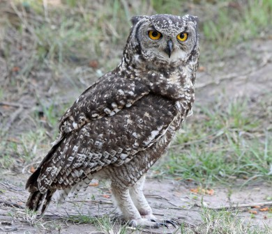 Spotted_Eagle-Owl_RWD